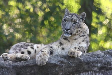 多摩動物公園111029-ユキヒョウのマユ-05