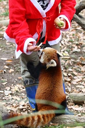多摩動物公園111225-レッサーパンダ-22