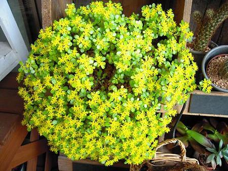 エンジェルリーフのお花