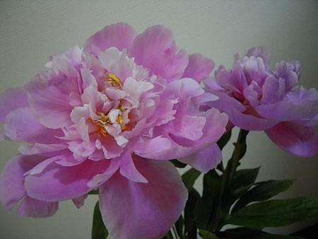 切り花・芍薬