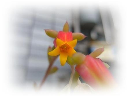 ミニマのお花