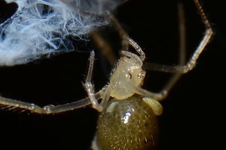 ヒメグモの寄生虫