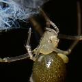写真: ヒメグモの寄生虫