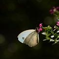 写真: シロチョウ科 クロテンシロチョウ
