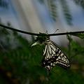 写真: アゲハチョウ科 ナミアゲハ