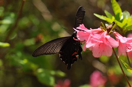 アゲハチョウ科 クロアゲハ