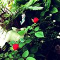Photos: 日曜日の朝、薔薇、兎、わたし…