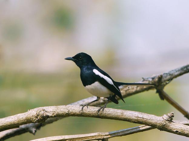 シキチョウ(Oriental Magpie Robin) P1150732_R