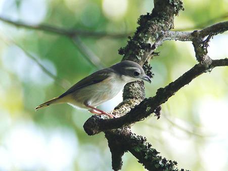 アカバネモズチメドリ♀(White-browed Shrike Babbler) P1180747_R
