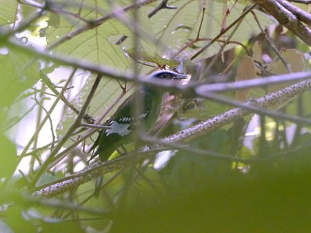 ミドリミヤマツグミ(Green Cochoa) P1200037_R