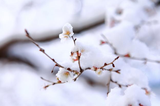 写真: 『冬から春へ。。。』 ~熱田神宮 四季桜~