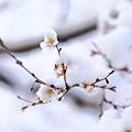 『冬から春へ。。。』 ~熱田神宮 四季桜~