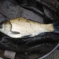 写真: ヘラブナも20匹くらい釣れました