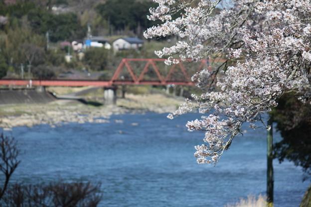 球磨川と桜