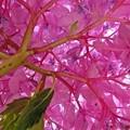 紫陽花天井