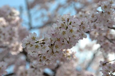 桜@上野公園[4/4]