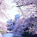 写真: 桜の園