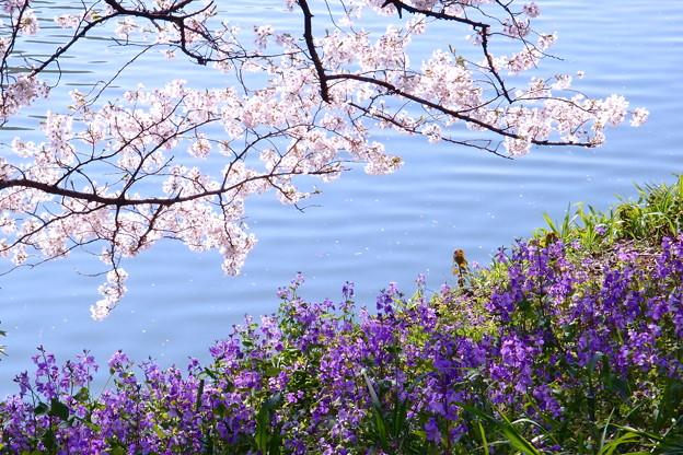 写真: 桃紫