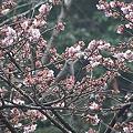 寒桜とヒヨドリ 2012.3.4