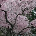 今満開の桜