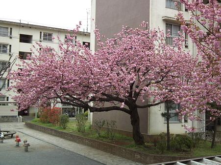 19狭山台八重桜