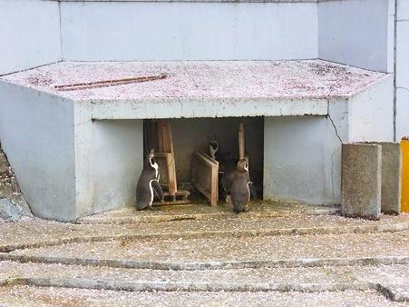 20120415 羽村 桜吹雪のフンボルト24