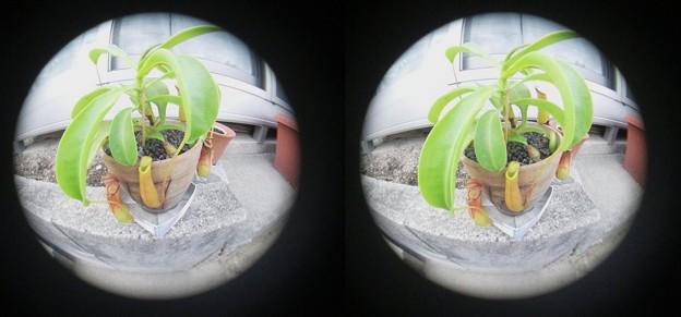 写真: 3D魚眼 ウツボカズラ