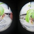 3D魚眼 ウツボカズラ