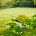写真: 緑の紫陽花