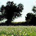 オリーブの木がある野原