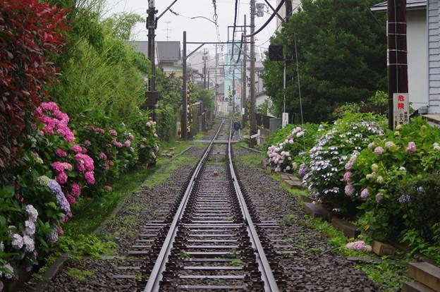 写真: 御霊神社近くの江ノ電線路端の紫陽花
