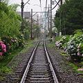 Photos: 御霊神社近くの江ノ電線路端の紫陽花
