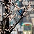小雨桜(1)