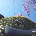 桜とチャリンコ2
