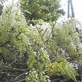 我が家の藤の花3