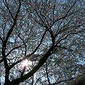 相模川の大島付近の桜2009-1