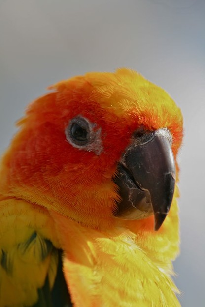 Photos: コガネメキシコインコの顔1