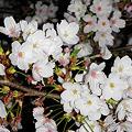 Photos: 桜の季節も終わり