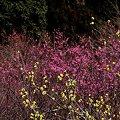 写真: 2011年2月28日 洞慶院 梅園(7)