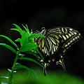 Photos: 透かして綺麗なアゲハ蝶^^