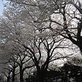 Photos: 日野市役所の通りの桜