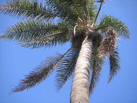 巨大な椰子の木と青空
