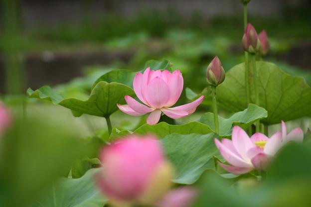 ハスの花です (4)