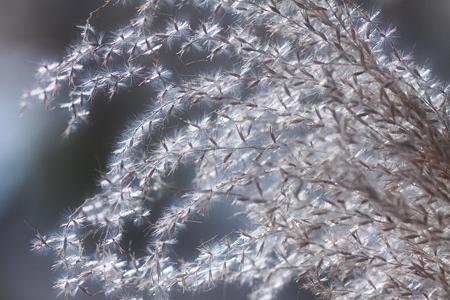 ススキの穂の輝き