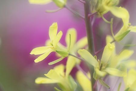 花キャベツの菜の花