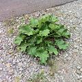 写真: 駐車場の謎の植物