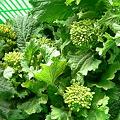 Photos: 食用菜花
