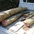 Photos: シイタケ原木の伐採
