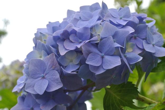Photos: 青いアジサイ