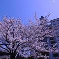 東京桜…2